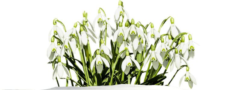 Geburtsblume Schneeglöckchen Januar