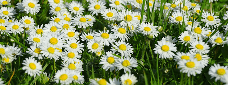 Gänseblümchen Geburtsblume April