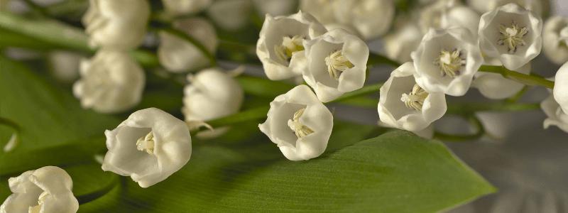 Maigloeckchen Geburtsburtsblume Mai