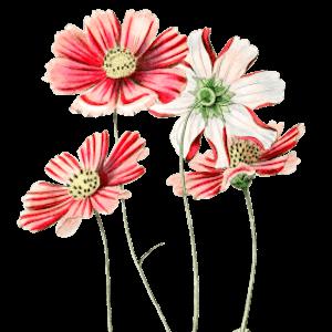 Schmuckkörbchen Kosmeen Geburtsblume