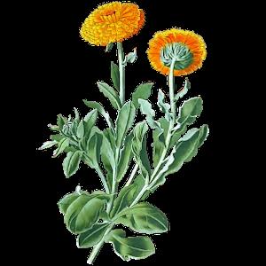 Geburtsblume Ringelblume