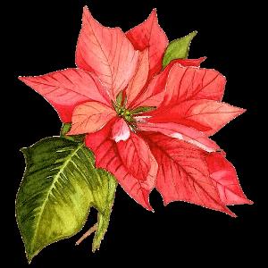 Weihnachtsstern Geburtsblume