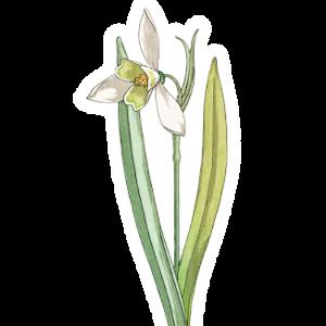 Schneeglöckchen Geburtsblume