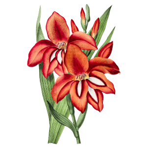 Gladiole Geburtsblume