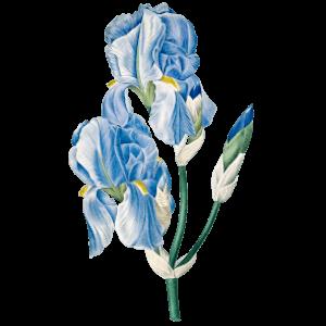 Schwertlilie Iris Geburtsblume