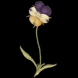 Geburtsblume Veilchen