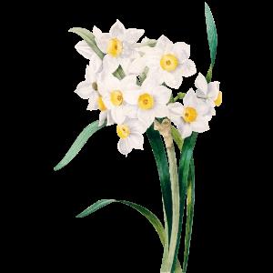 Osterglocke Narzisse Geburtsblume