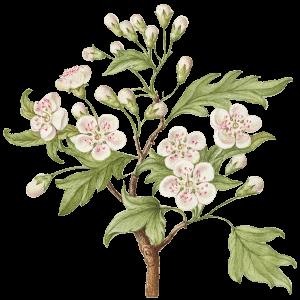 Kirschblüte Geburtsblume