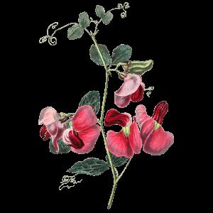 Duftende Platterbse Geburtsblume