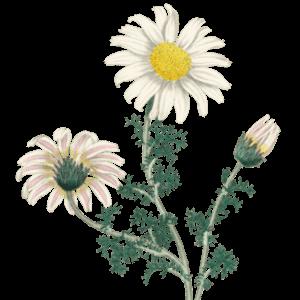 Gänseblümchen Geburtsblume