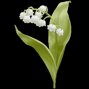 Maiglöckchen Geburtsblume