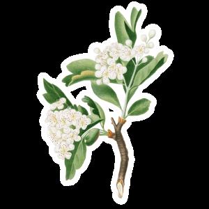 Weißdorn Geburtsblume