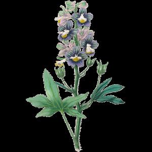 Rittersporn Geburtsblume