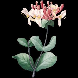 Geißblatt Geburtsblume