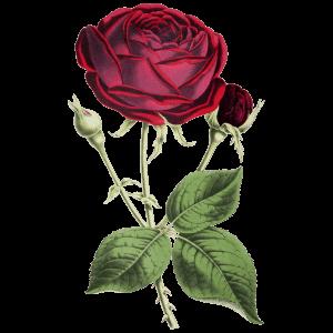 Rose Geburtsblume