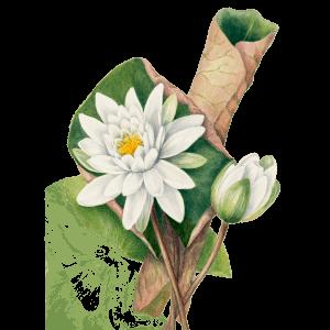 Wasserlilie Seerose Geburtsblume