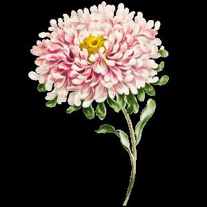 Aster Geburtsblume