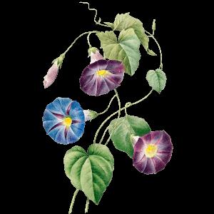 Blaue Prunkwinde Geburtsblume