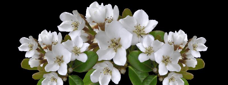 Weissdorn Geburtsblume Mai